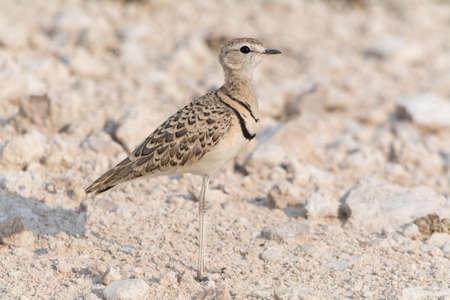birds desert: Double banded courser in Etosha National Park