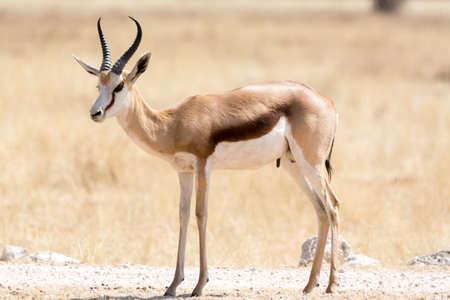 springbok: Springbok in the Etosha National Park, Namibia