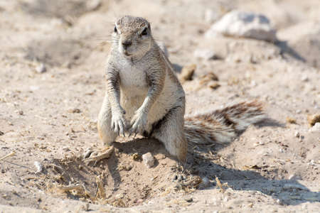 digging: Ground Squirrel digging a hole in Etosha National Park, Namibia