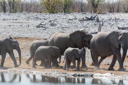 pozo de agua: Manada de elefantes en el abrevadero en el Parque Nacional de Etosha, Namibia