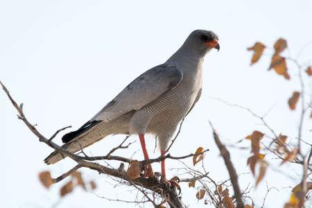 goshawk: Southern Pale Chanting Goshawk, Etosha National Park, Namibia