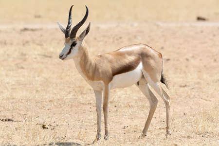 springbok: Springbok in desert land in Etosha National Park, Namibia