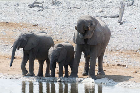 at waterhole: Familia del elefante en el pozo de agua, Drining, en el Parque Nacional de Etosha, Namibia