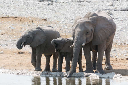pozo de agua: Familia de elefantes bebiendo en el pozo de agua en el Parque Nacional de Etosha, Namibia