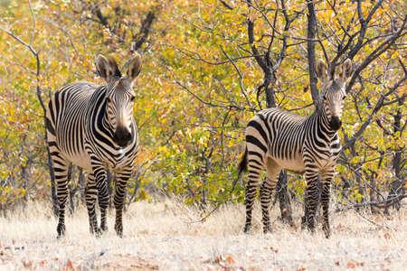 zebra: Dos Hartmann Cebras de montaña en el Parque Nacional de Etosha, Namibia