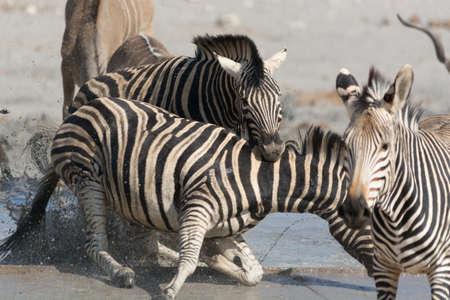 aggressor: Zebra biting the neck of aggressor, Namibia