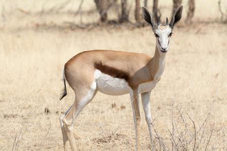 springbok: Springbok portrait in Etosha National Park, Namibia