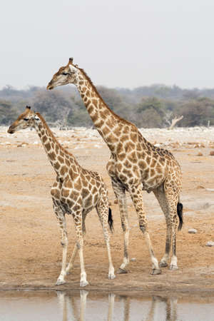 pozo de agua: Two giraffes at waterhole. Seen and shot on self drive safari tour through several natural parks at namibia, africa. Foto de archivo
