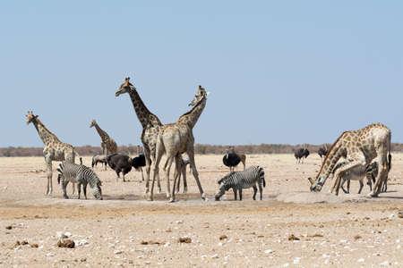 waterhole: Groupt de jirafas y otros animales en el pozo de agua. Visto y un disparo en la libre unidad de safari a trav�s de varios parques naturales en Namibia, �frica.