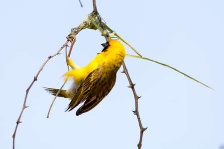 weaver bird: Male Weaver Bird building a nest of grass in the tree. Seen and shot on self drive safari tour through several natural parks at namibia, africa.