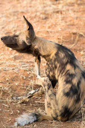 african wild dog: african wild dog. Seen and shot on self drive safari tour through several natural parks at namibia, africa.
