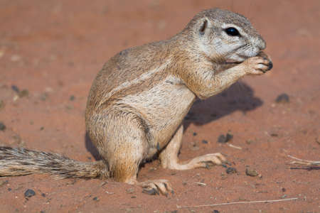 desert sand: Ground squirrel in red desert sand. Seen and shot on self drive safari tour through several natural parks at namibia, africa.