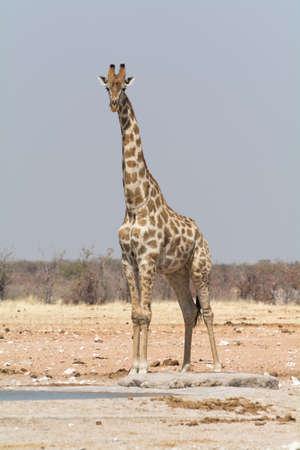 at waterhole: Jirafa solo en un pozo de agua artificial. Visto y filmada en safari en coche de autoservicio a través de varios parques naturales en Namibia, África. Foto de archivo