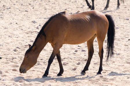 pozo de agua: Wild Horses near waterhole. Seen and shot on selfdrive safari tour through natioal parks in namibia, africa. Foto de archivo