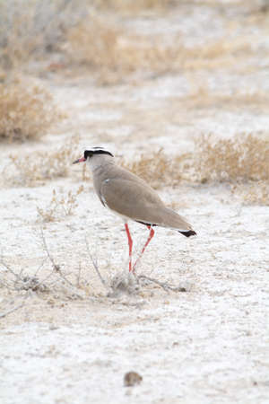 lapwing: Crowned Lapwing. Seen and shot on selfdrive safari tour through natioal parks in namibia, africa.