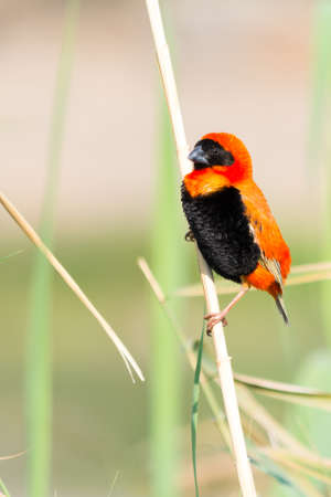 birds desert: Southern Red Bishop. Seen and shot on selfdrive safari tour through natioal parks in namibia, africa.