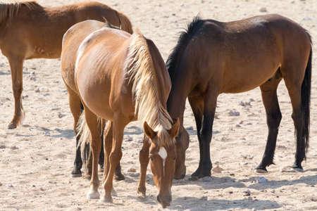 waterhole: Wild Horses near waterhole. Seen and shot on selfdrive safari tour through natioal parks in namibia, africa. Foto de archivo