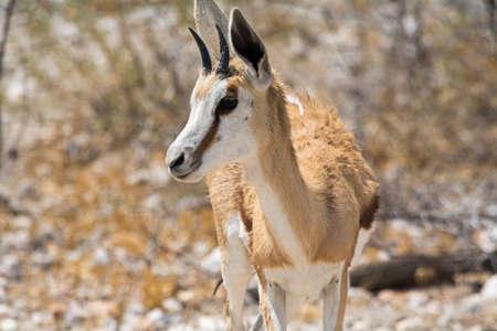 springbok: Springbok. Seen and shot on selfdrive safari tour through natioal parks in namibia, africa.