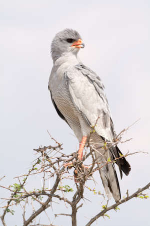 azor: Pale Chanting Goshawk. Seen and shot on selfdrive safari tour through natioal parks in namibia, africa.