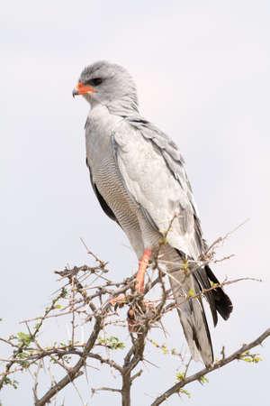goshawk: Pale Chanting Goshawk. Seen and shot on selfdrive safari tour through natioal parks in namibia, africa.