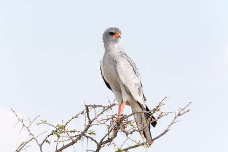 goshawk: Pale Chanting Goshawk. Seen and shot on selfdrive safari tour through natioal parks in namibia, africa.