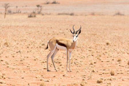 springbok: Springbok in the desert. Seen and shot on selfdrive safari tour through natioal parks in namibia, africa.