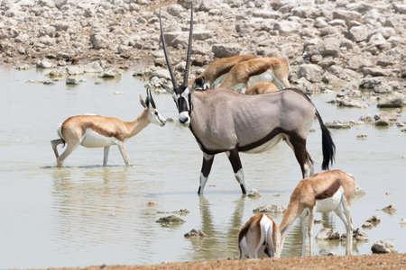 pozo de agua: Gemsbok and Springbok at waterhole. Seen and shot on selfdrive safari tour through natioal parks in namibia, africa. Foto de archivo
