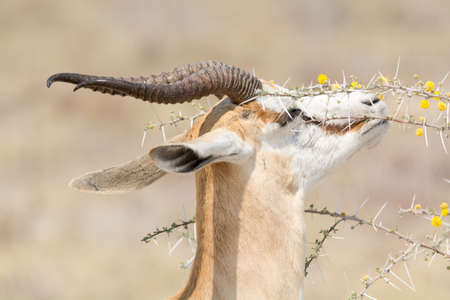 trees with thorns: Springbok eating fruits of acacia trees, caution: the thorns are very thick. Etosha National Park, Namibia, Africa