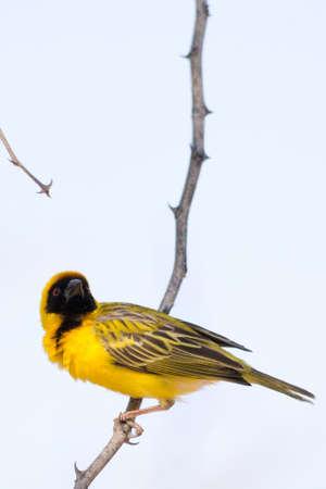 weaver bird: Weaver Bird building his nest in Namibia