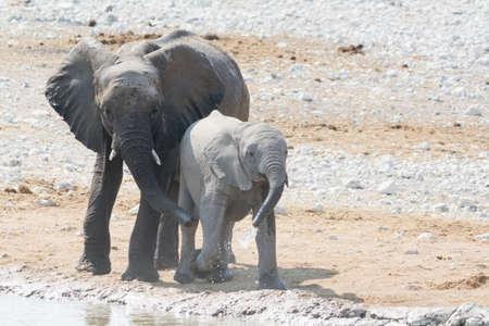 pozo de agua: Vaca y becerro del elefante en Waterhole