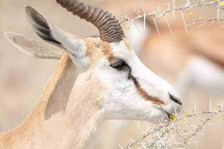 springbok: Springbok eating fruits of acacia trees, caution: the thorns are very thick. Etosha National Park, Namibia, Africa