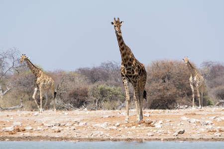pozo de agua: Jirafas en el pozo de agua en el Parque Nacional de Etosha Foto de archivo