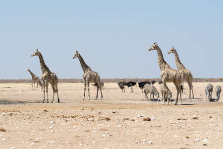 waterhole: Giraffes and other animals at waterhole Stock Photo