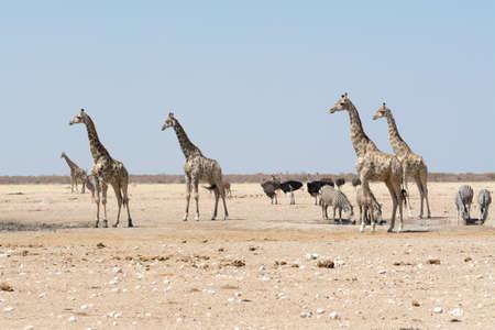 pozo de agua: Jirafas y otros animales en el pozo de agua