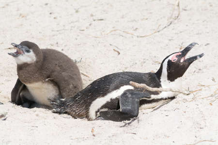 penguins on beach: Two hungry penguins at South African beach