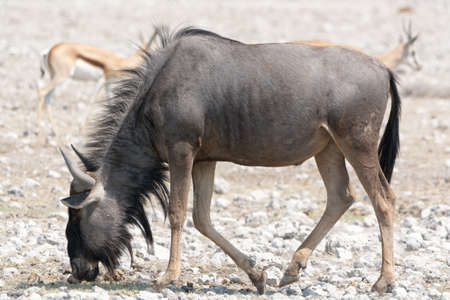 wildebeest: Blue Wildebeest in namibia, africa Stock Photo