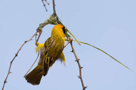 weaver bird nest: Weaver Bird building his nest in Namibia
