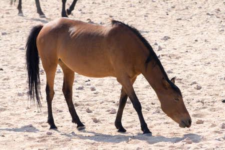 at waterhole: Los caballos salvajes acercan al pozo de agua. Visto y filmado en safari selfdrive a través de parques Natioal en Namibia, África. Foto de archivo