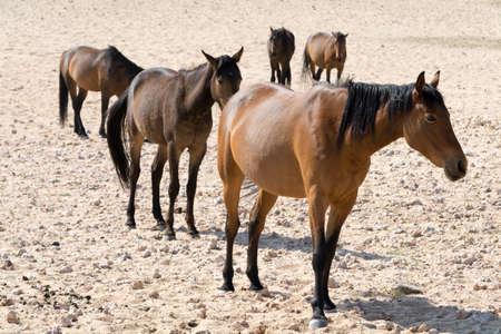 waterhole: five wild horses on the way to a waterhole in garub desert namibia. Seen during safari tour at Namibia, Africa.