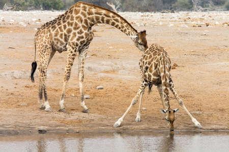 pozo de agua: Giraffe cow and bull at waterhole. Seen and shot on self drive safari tour through several natural parks at namibia, africa. Foto de archivo
