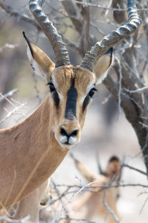 Blackfaced Impala Portrait - looking into cam in Etosha National Park, Namibia, Africa. Imagens
