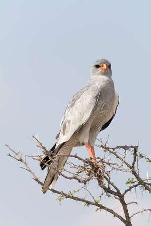 zopilote: Lagarto Buzzard en la parte superior del árbol en el Parque Nacional de Etosha, Namibia, África.