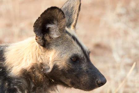 wild dog: Portrait of a wild dog in Namibia, Africa.