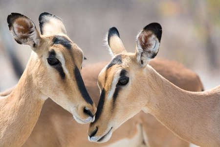 two faced: Portrait of Two Blackfaced Impala in Etosha National Park, Namibia, Africa.
