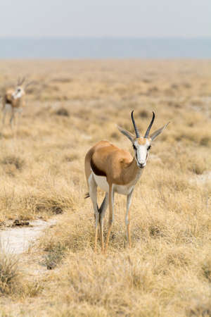 springbok: springbok in grass desert in Etosha National Park, Namibia, Africa. Stock Photo