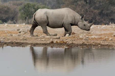 pozo de agua: Rinoceronte en el pozo de agua natural en el Parque Nacional de Etosha, Namibia, �frica. Foto de archivo