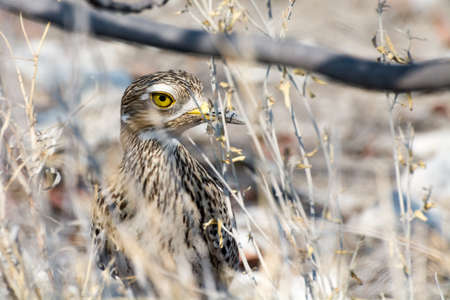 mocks: Spottet Thick Knee hiding in the bushes in Etosha National Park, Namibia, Africa.