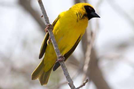 weaver bird: Yellow Weaver bird in a tree in Etosha National Park, Namibia, Africa.