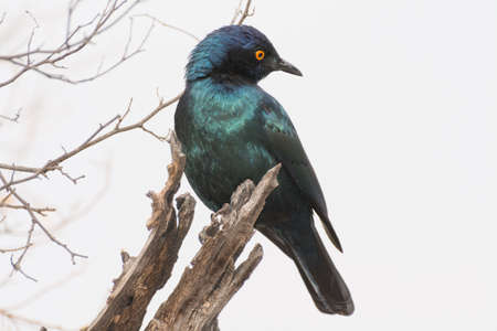 eared: Greater Blue Eared Starling on wood in Etosha National Park, Namibia, Africa.