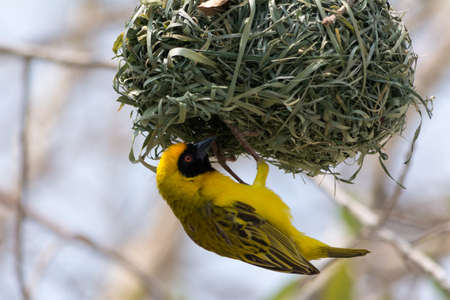 weaver bird nest: Yellow Weaver bird building a nest in Etosha National Park, Namibia, Africa.